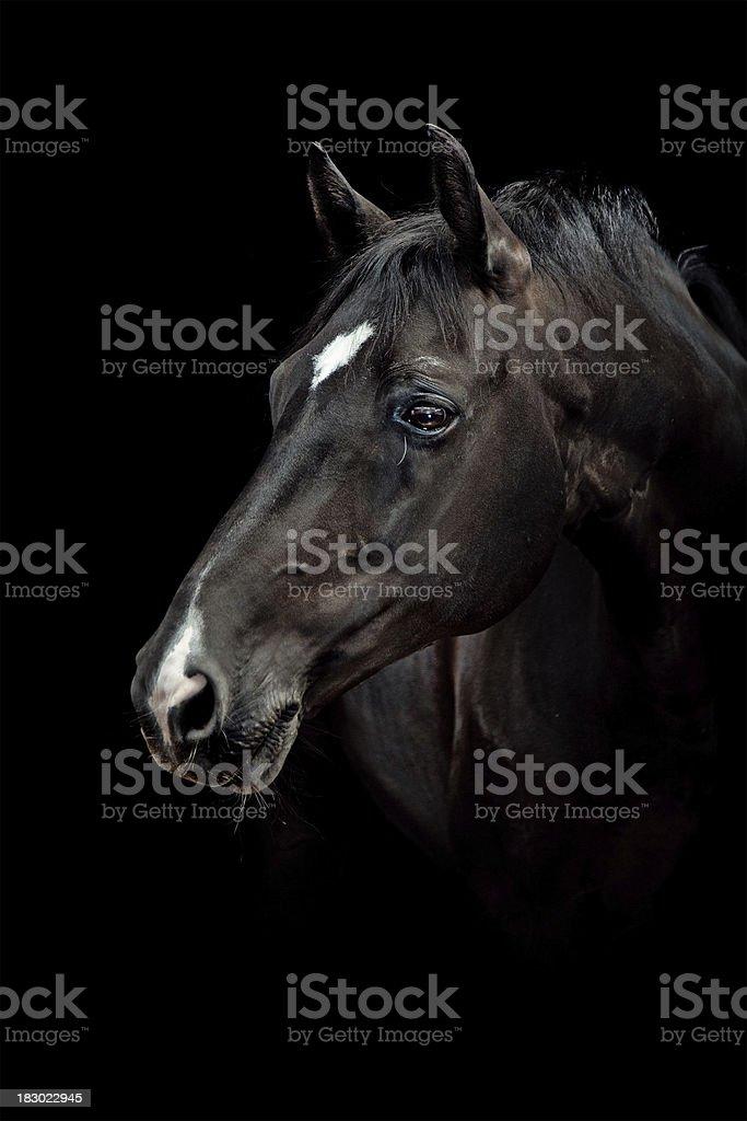 Schwarzes Pferd Porträt – Foto