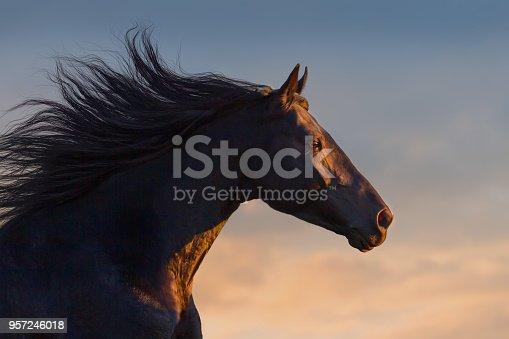 istock Black horse portrait 957246018