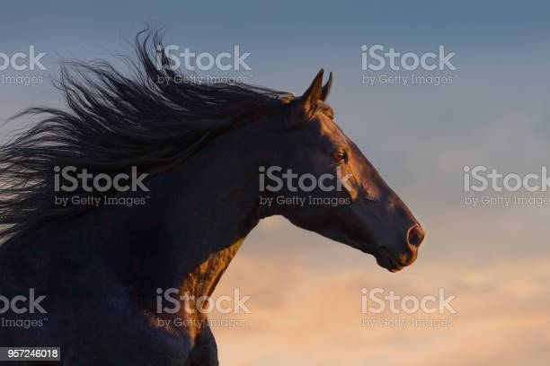 Black horse portrait picture id957246018?b=1&k=6&m=957246018&s=612x612&h=jdx3pd9ljcdnuwvqc7bdnf rljlcjdzpjb3xpaqzpfw=
