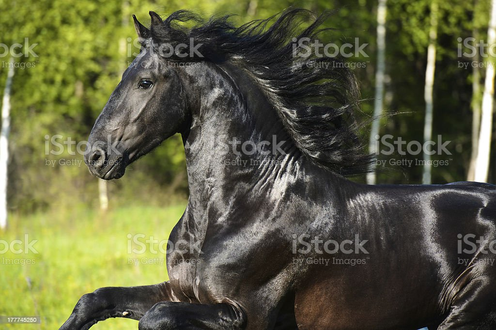 Black horse portrait with beautiful mane in motion stock photo