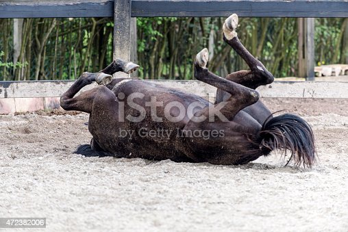 Black horse rolling on the sand in paddock. Horizontal composition and no people.