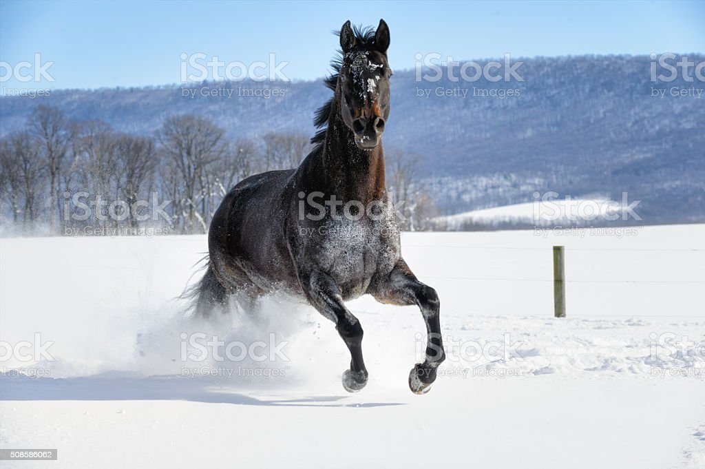 Black Horse Running In Deep White Snow Front View Stock Photo Download Image Now Istock