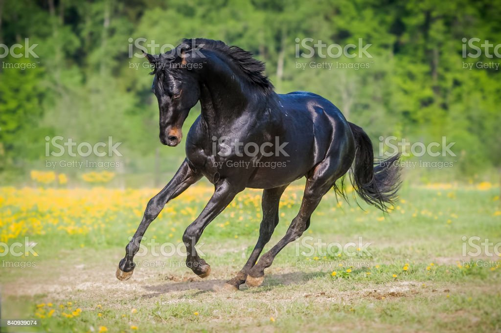 Black horse runs gallop on the meadow in summer – zdjęcie