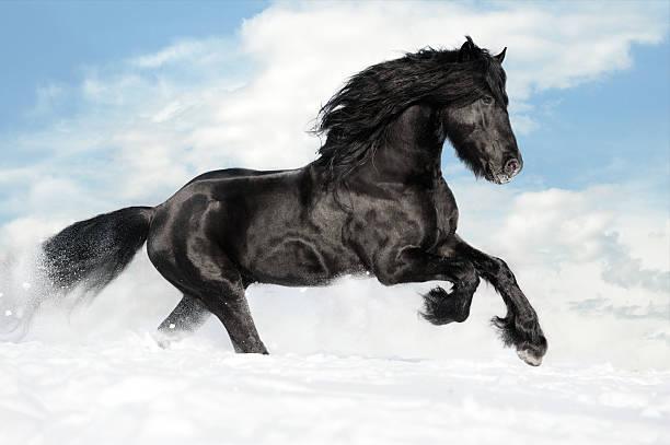 Black horse runs gallop on the snow stock photo