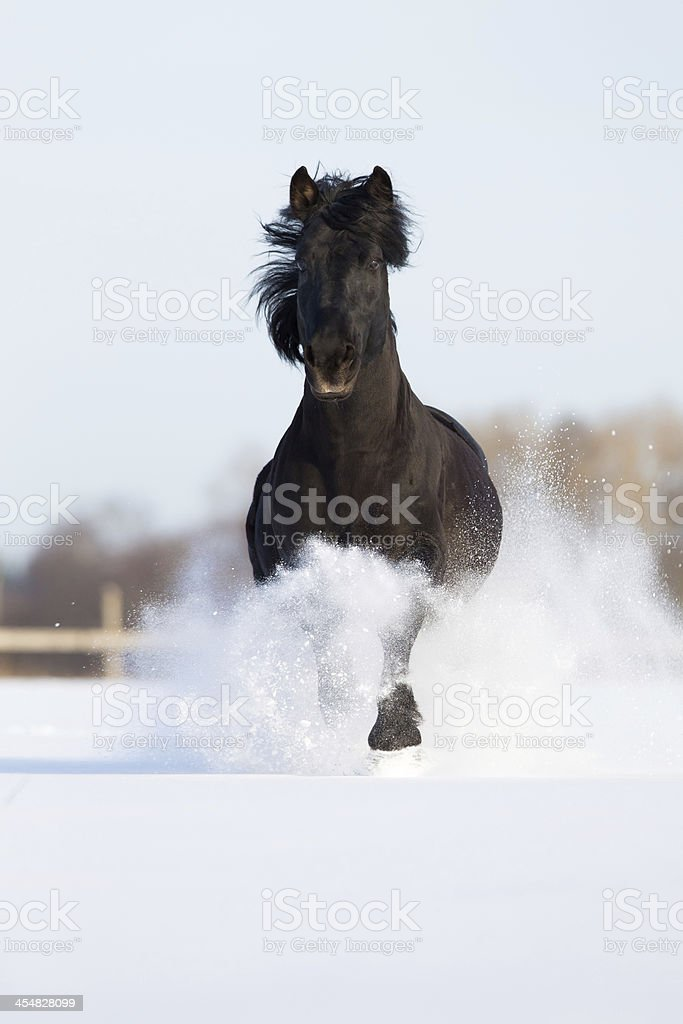 Black Horse Runs On The Snow Lithuanian Stallion Stock Photo Download Image Now Istock