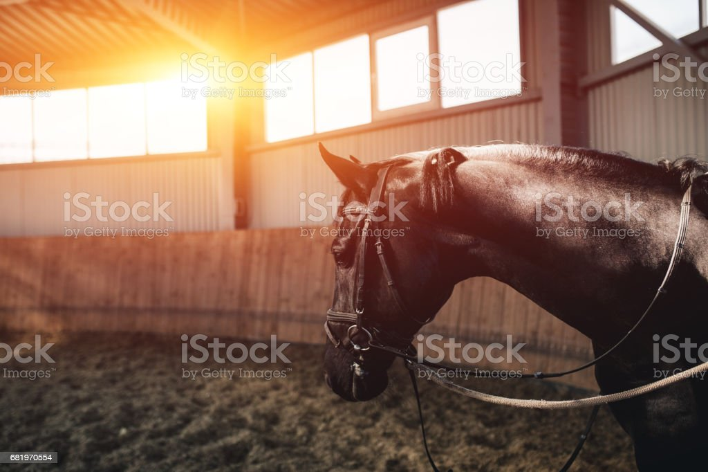 Black horse standing in the dark manege stock photo