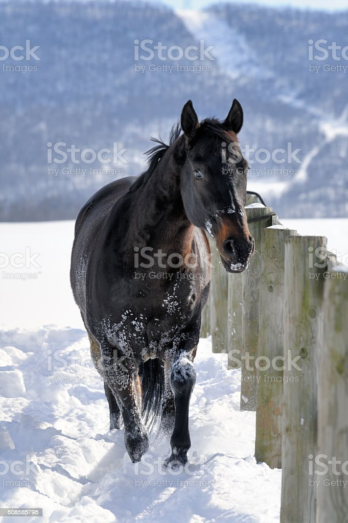 Black Horse Walking In Deep White Snow Front View Stock Photo Download Image Now Istock