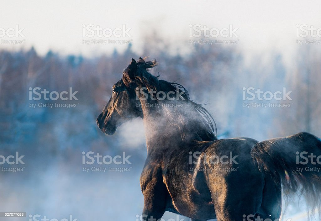 black horse winter portrait in action stock photo