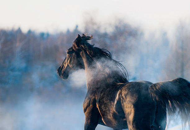 black horse winter portrait in action – Foto
