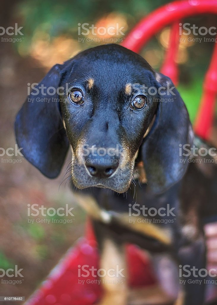 Black Hound Mix Puppy stock photo