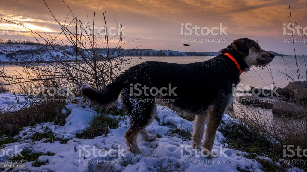 black hunting dog sits on the beach against the background of a