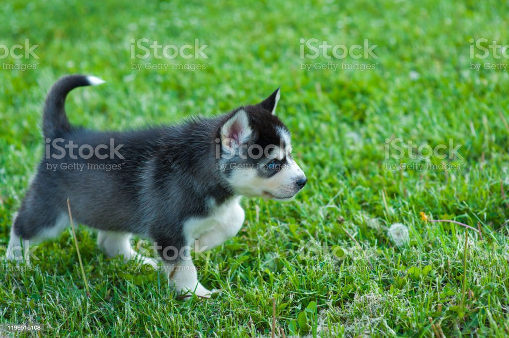 Black Husky Puppy Walking Through The Grass Stock Photo Download Image Now Istock