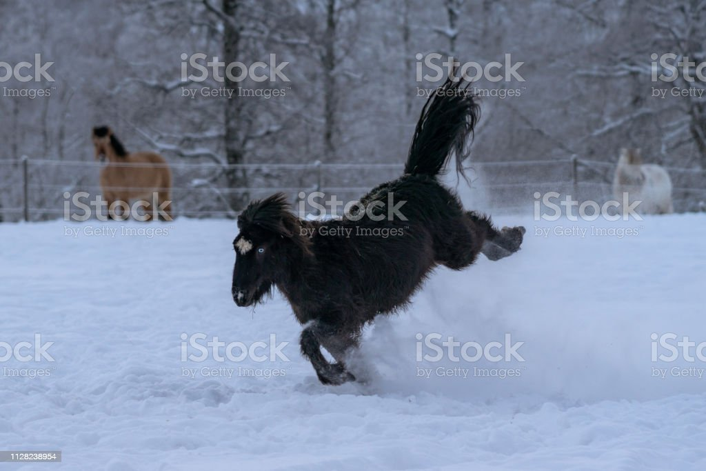 Black Icelandic Horse With Blue Eyes Bucking In Deep Snow Stock Photo Download Image Now Istock