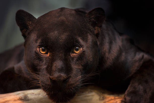 Black jaguar looking at the camera. stock photo