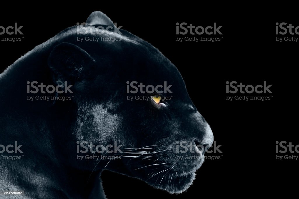 black jaguar on a black background stock photo
