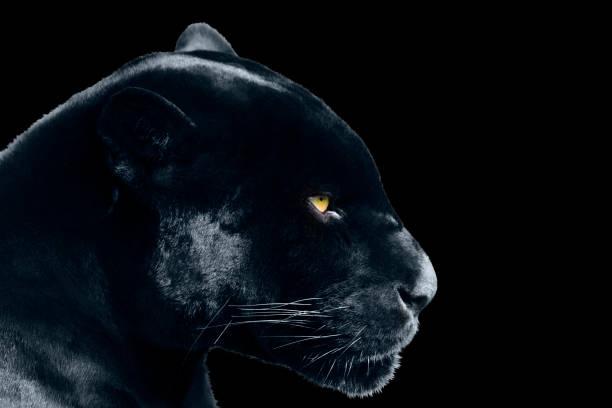 black jaguar on a black background stock photo