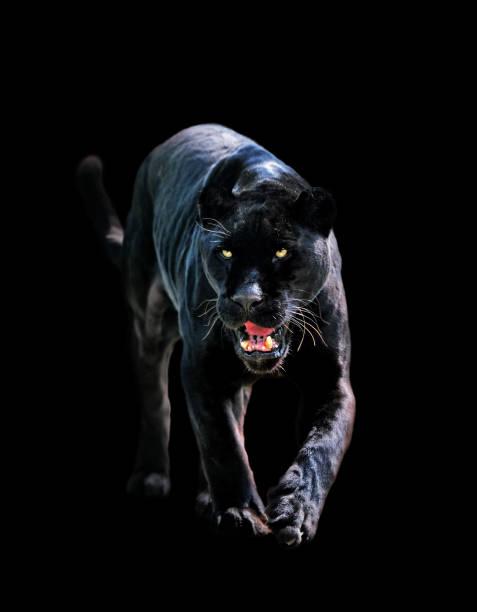 black jaguar  (panthera onca) - black leopard stock pictures, royalty-free photos & images