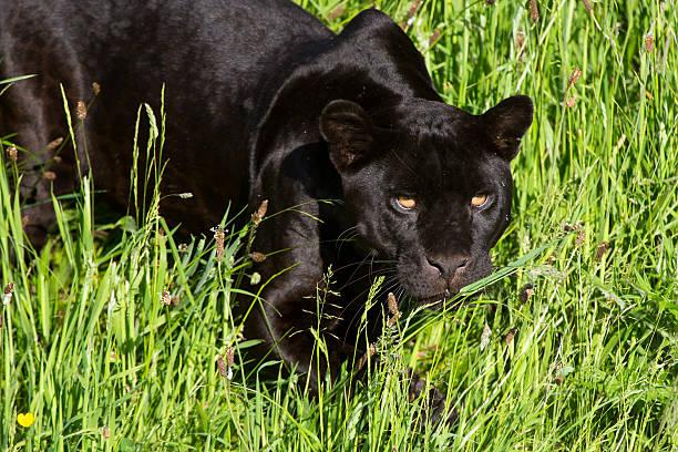 jaguar panther onca (schwarz) - schwarzer puma stock-fotos und bilder