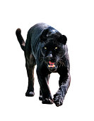 a black jaguar isolated on clean white background