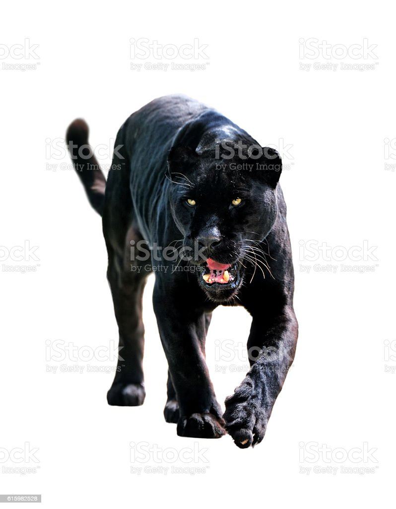 black jaguar  (Panthera onca) stock photo
