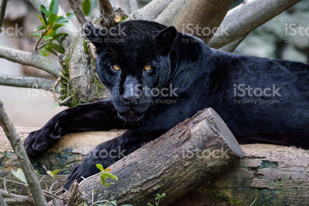 Svart jaguar sittande på en logg medan du tittar på kameran - Royaltyfri Djur Bildbanksbilder
