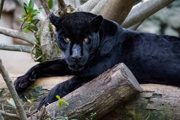 黑色捷豹坐在一個日誌, 而看著相機圖像檔