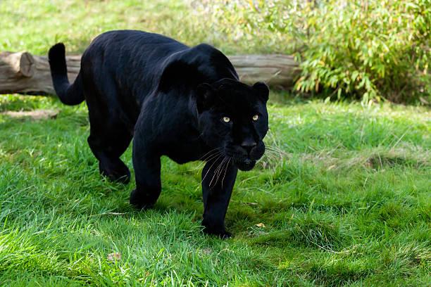 Black Jaguar Stalking through Grass Black Jaguar Stalking through Grass Panthera Onca jaguar cat stock pictures, royalty-free photos & images