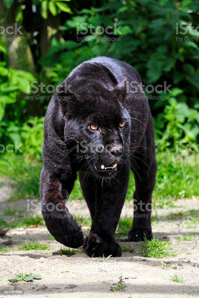 Black Jaguar - walking towards viewer stock photo