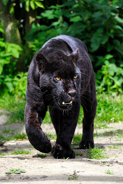 Czarny Jaguar-walking w przeglądarce – zdjęcie