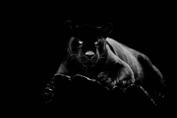 Svart jaguar med svart bakgrund bildbanksfoto