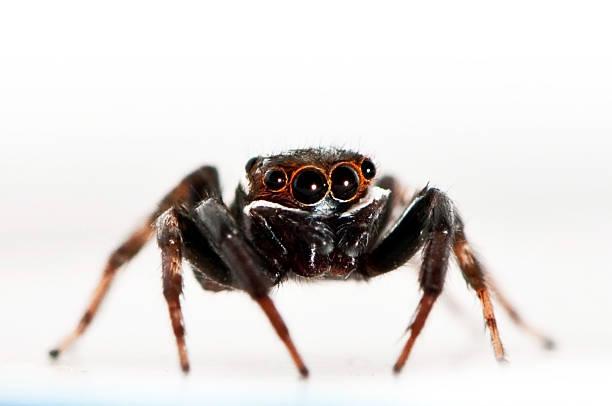 Black Jumping Spider stock photo