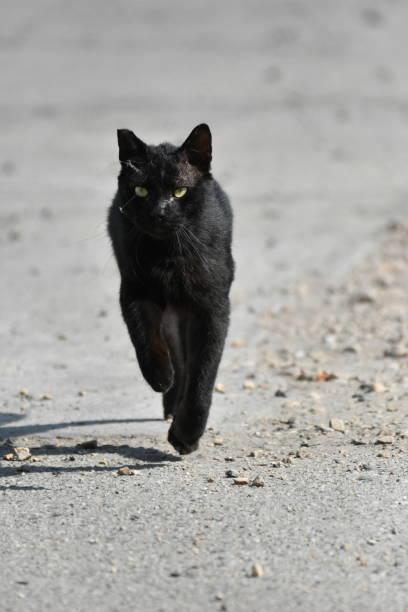 black junkyard cat - steven harrie stock photos and pictures