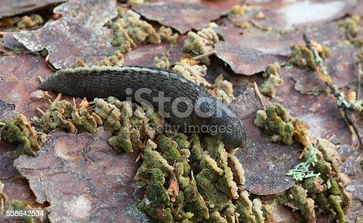 Digital photo of a black keel back slug, Limax cinereoniger feeding on mushroom. This slug can be found in europe and belongs to the Limacidae family.