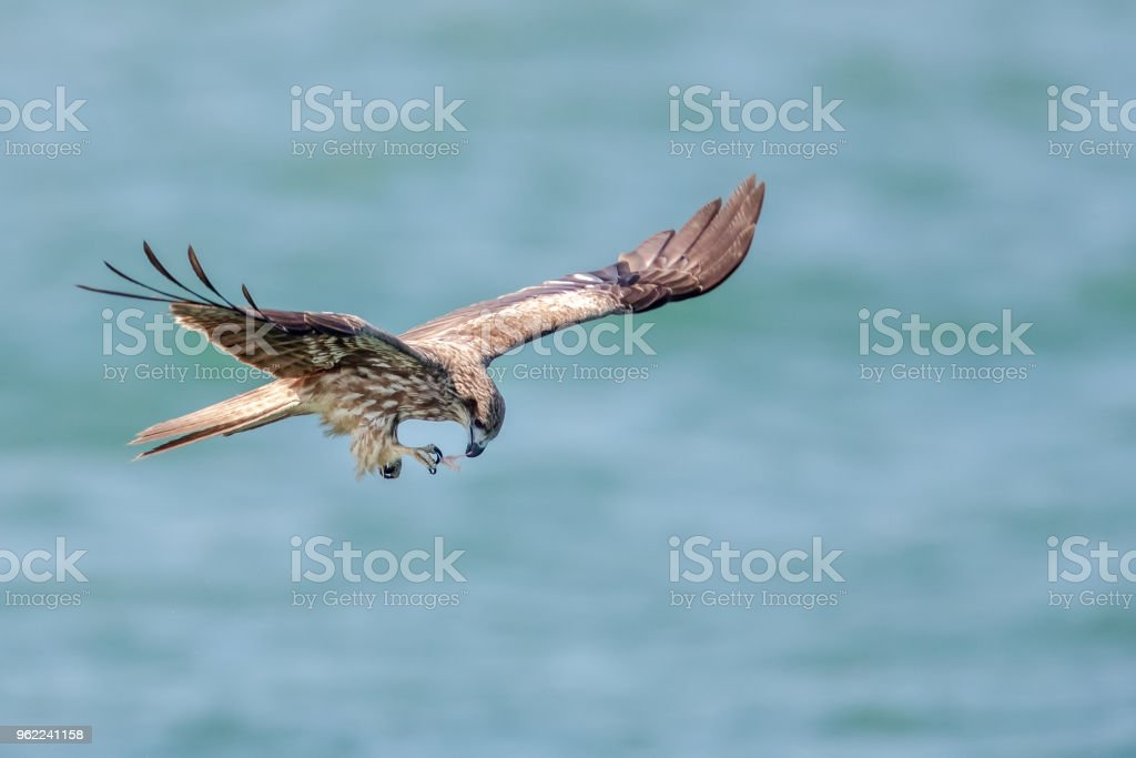 Black Kite  (Milvus migrans) in flight stock photo