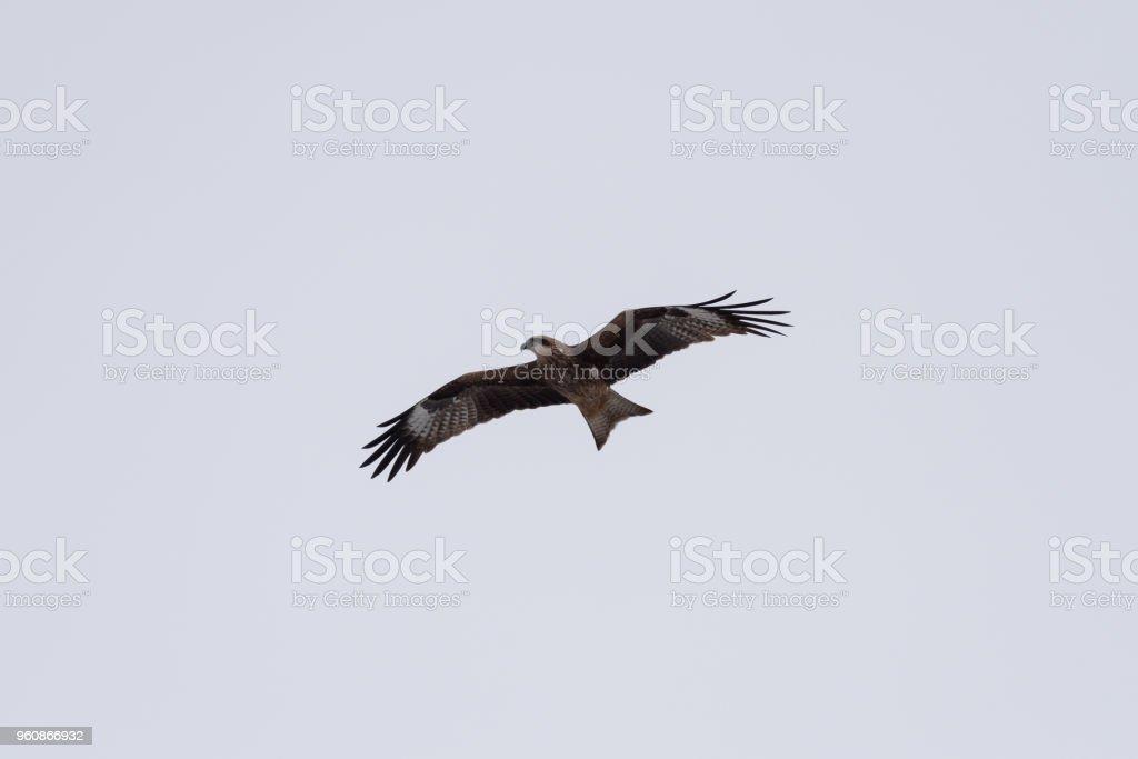 Schwarze Drachen in den Himmel - Lizenzfrei Adler Stock-Foto