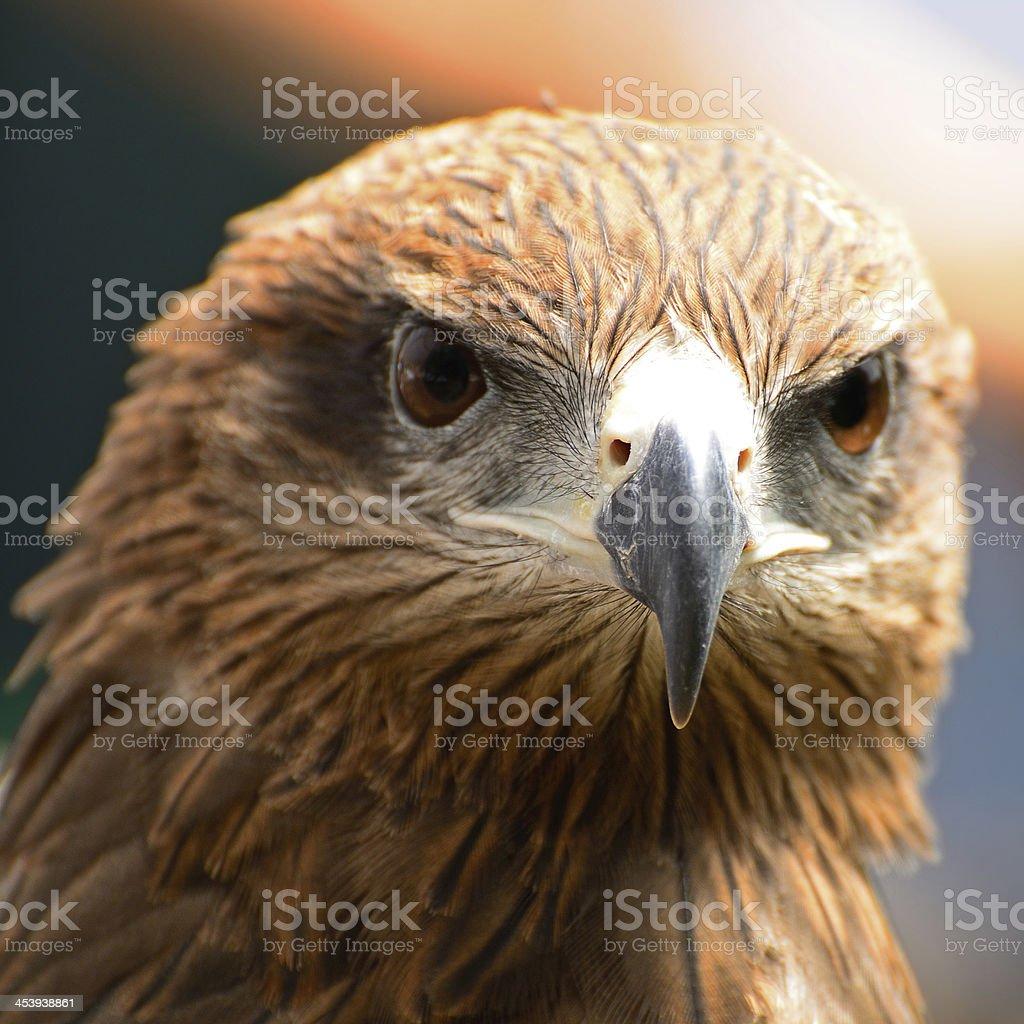 Black Kite royalty-free stock photo