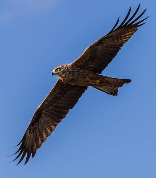 Black kite Milvus migrans. alas stock pictures, royalty-free photos & images