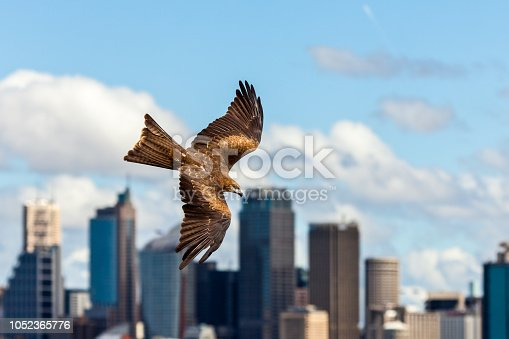 Black kite raptor in flight with Sydney skyline in the background on a sunny day