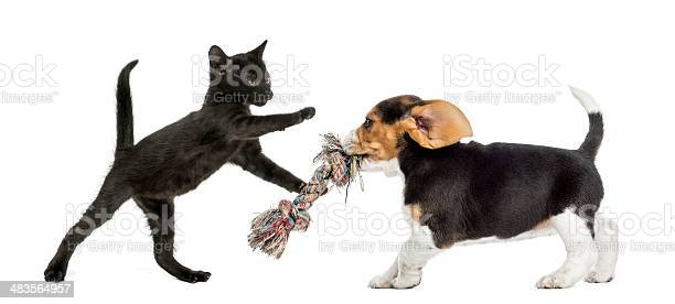 Black kitten and beagle puppy playing with a toy picture id483564957?b=1&k=6&m=483564957&s=612x612&h=pgdy jy3w7gels9wxdzjggn nanaaekwuj viz8ggzw=