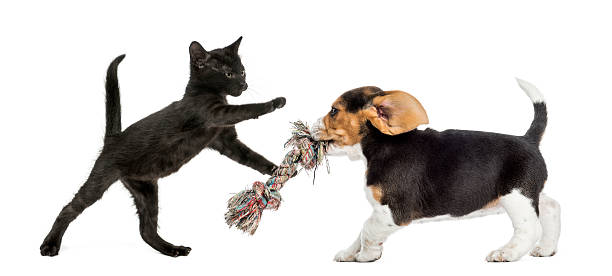 Black kitten and beagle puppy playing with a toy picture id483564957?b=1&k=6&m=483564957&s=612x612&w=0&h=croor2f5iz1n0phkqbu8ijxelgra zt4pezgjb9yelg=