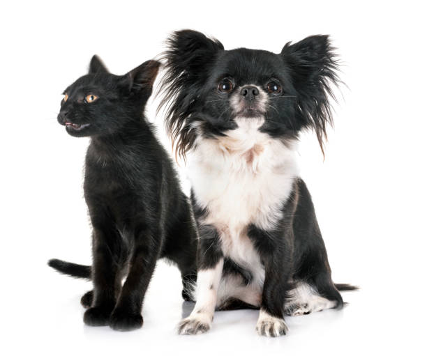 Black kitten and chihuahua picture id1158227383?b=1&k=6&m=1158227383&s=612x612&w=0&h=nrdvvkqmhs2ffvltbtb3hyt7xx4qh5hwtknycbpu1hm=