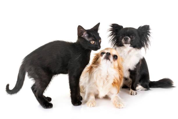 Black kitten and chihuahua picture id1164092998?b=1&k=6&m=1164092998&s=612x612&w=0&h=mjrkjofbz ij6bw66xclgn2cgj2xvjor9aiz2a0gzi0=