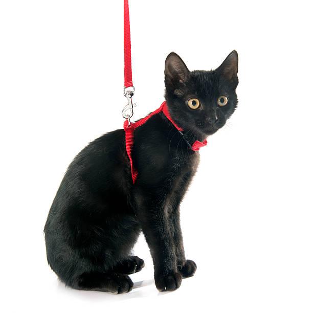 schwarze kätzchen und gurt - katzengeschirr stock-fotos und bilder