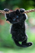istock Black kitten is hanging on the rope 493308658