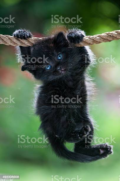 Black kitten is hanging on the rope picture id493308658?b=1&k=6&m=493308658&s=612x612&h=siz73cvuctmggkvc8o4cmduuy4mx104 nnlzjoi4vow=