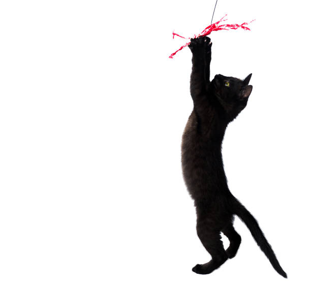 Black kitten jumping to the toy with a red ribbon isolated on a white picture id1068852250?b=1&k=6&m=1068852250&s=612x612&w=0&h=9o8vr86zwlbsefjz1ryznpoanqdny8dqxyjpqzcpke0=