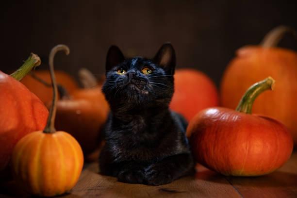 Black kitten laying between pumpkins looking up picture id1278909266?b=1&k=6&m=1278909266&s=612x612&w=0&h=vek44qwwibnbr6rnntqlrzjm9s1m2ecrhyviz4 owla=