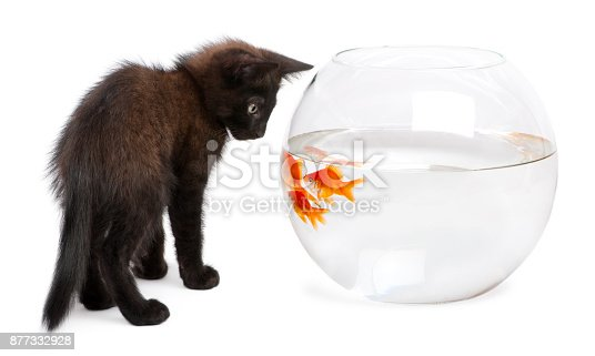 istock Black kitten looking at Goldfish, Carassius Auratus, swimming in fish bowl in front of white background 877332928