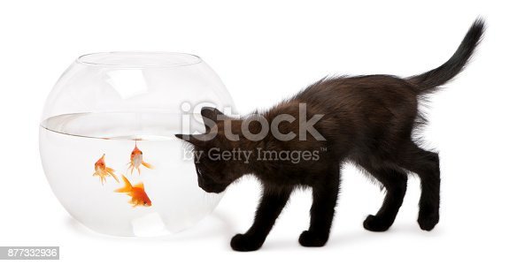 istock Black kitten looking at Goldfish, Carassius Auratus, swimming in fish bowl in front of white background 877332936