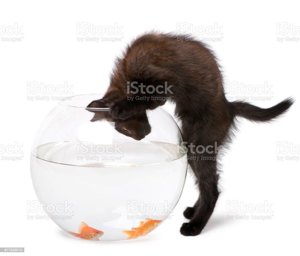 Schwarzes Kätzchen, Goldfische, Carassius Auratus im Goldfischglas vor weißem Hintergrund betrachten – Foto